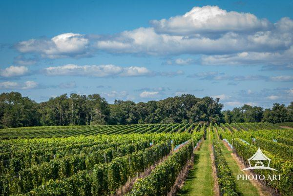 East end vineyards on a slightly cloudy day. Love the rows the vines make.