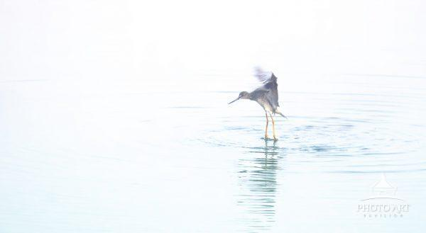A Yellow Legs wading bird shakes off the water on a misty morning done in high key style.