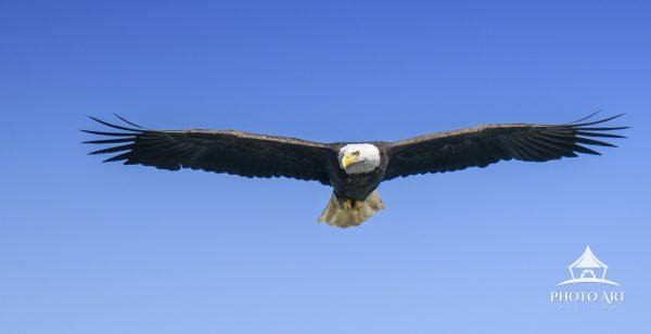 An adult Bald Eagle with wings spread in flight against blue sky at Conowingo Dam, Maryland.