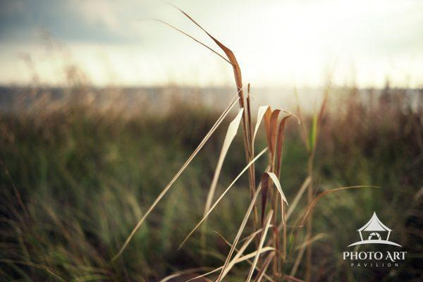 Beach grass along the shore. Long Island, NY. Color photograph.