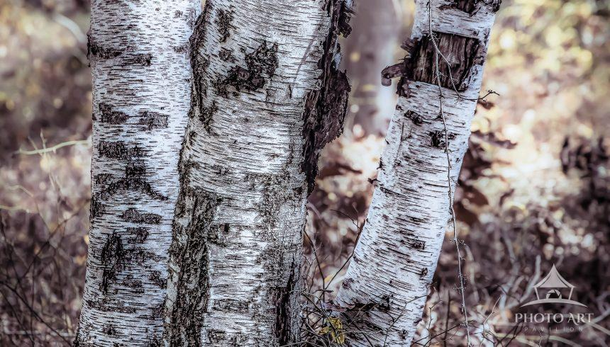 A simple image of birch tree trunks is transformed artistically using digital layers and styling.