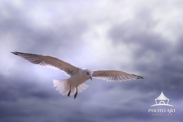 Seagull in flight amongst beautiful clouds. Color photograph.