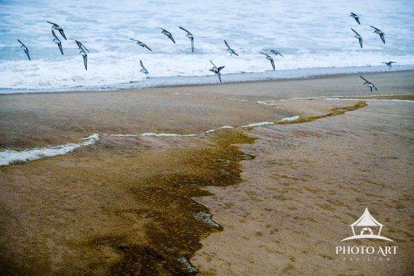 Shore birds in flight along the textured coast of Fire Island. Atlantic Ocean. Color photograph.