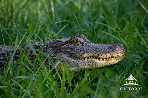 The alligator named Lucy.. The Long Island Game Farm Today the Game Farm is home to over 200