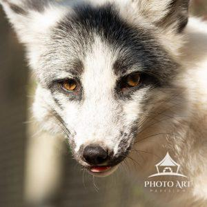 A shy wolf, she peaked out from her den.  The Long Island Game Farm is hot to over 200 animals.