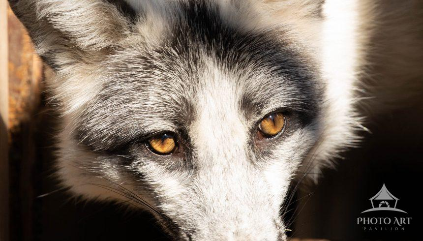 Portrait of a shy wolf