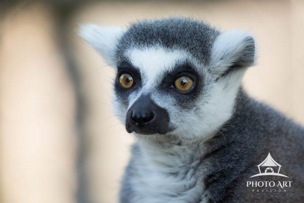 Lemur are fun little rascals!