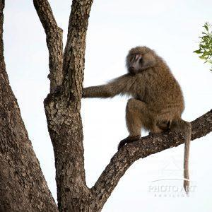 Baboon amongst the trees, mid morning break from the chaos on the ground.