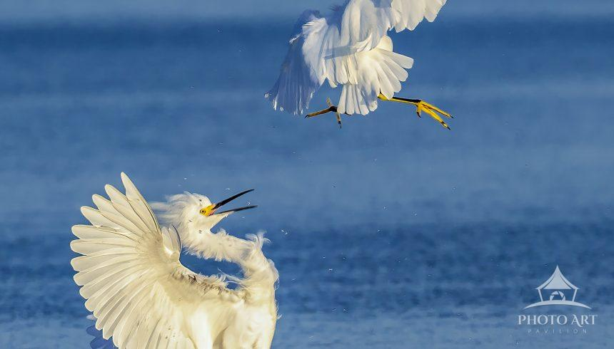 """Heee Yaaah!"" Snowy Egret attacks from above with a karate chop causing the other to come to a"
