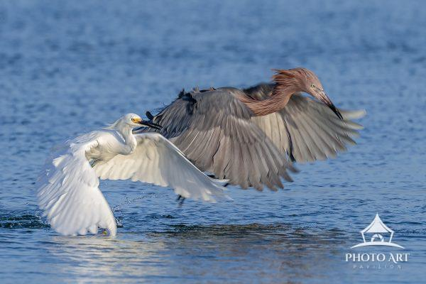 """..Set,...Go!!"" A Snowy & Reddish Egret race to get to a fish first."
