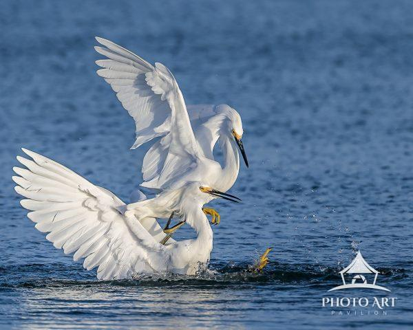 Snowy Egret gets dunked during a pitched battle for dominance on the beach.