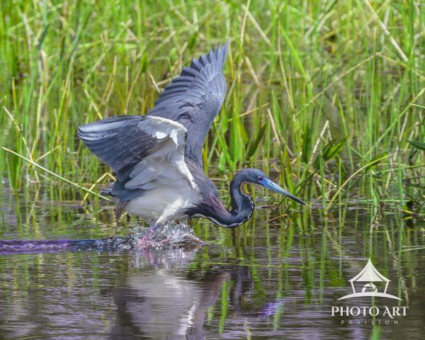 A Tri-Colored Heron at a full run chasing down a meal. Wonder how they ever catch anything with all