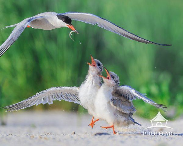 Once bird chicks hatch it is non-stop feeding time. Chicks are constantly crying for food & then