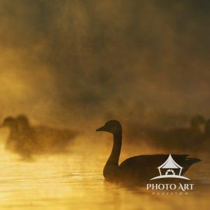 Warm light of sunrise against the mist on the pond with geese providing the silhouettes at Exton
