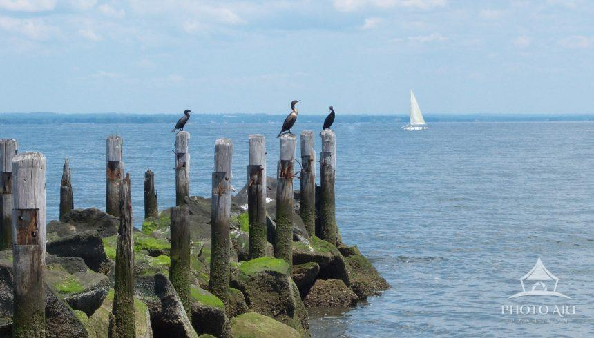 Cormorants sit on pilings lazily watching the sailboats on a summer's day.