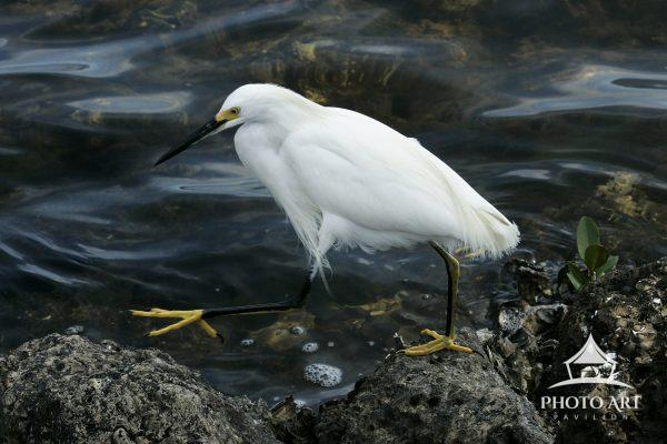 The dark water set off the white coat of this egret  and showed off her yellow feet.