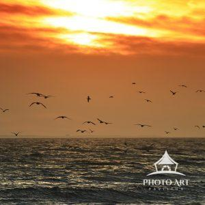 Sunset flight of gulls