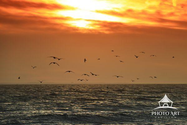 Sunset flight of gulls