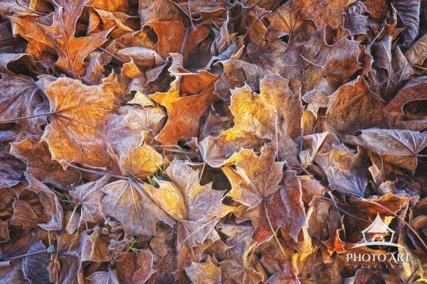 Crispy crunchy leaves after a bit of frost in Audubon, Pennsylvania in early December.