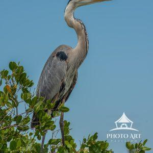 Great Blue Heron perched on Lovers Key in Southwest Florida.