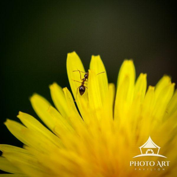 A small any climbing on a yellow flower.