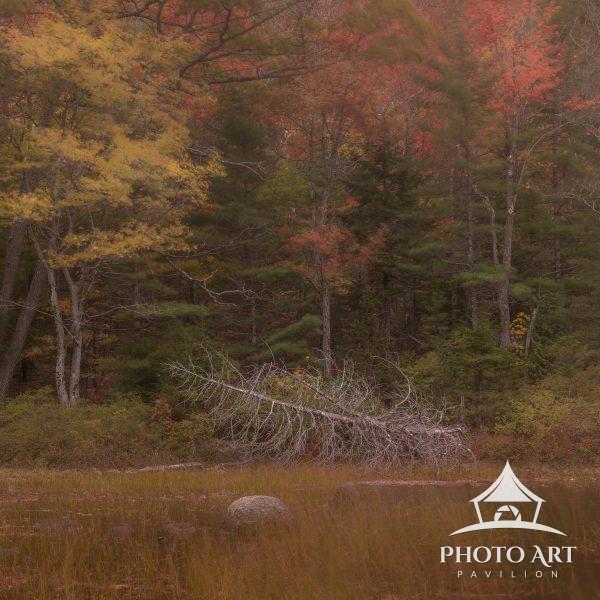 Fallen tree on marsh in Maine's North Woods