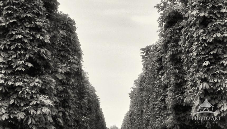 The famous Chestnut trees in the Jardin des Tuileries, Paris France, captured on film