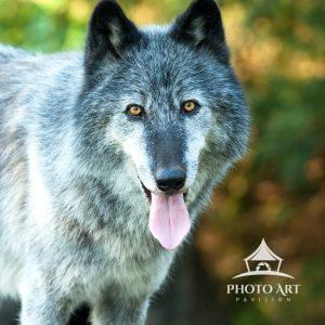 Ambassador Wolf Zephyr stopping to say hello at the Wolf Conservation Center in Salem, NY