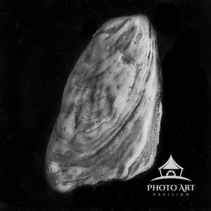 Black and White Study of a Seashell.
