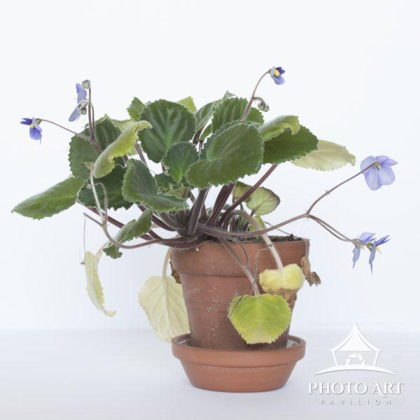 violets in bloom in a pot