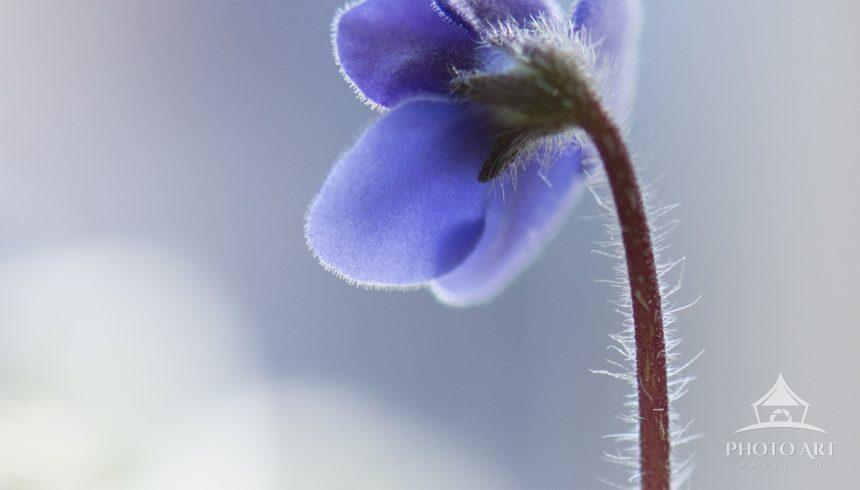 A single, sunlit violet in its simple beauty