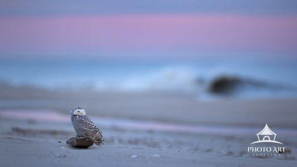 A late evening Snowy Owl sits on a small board waiting for it's set of waves to arrive.