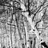 B&W Aspen trees in Colorado