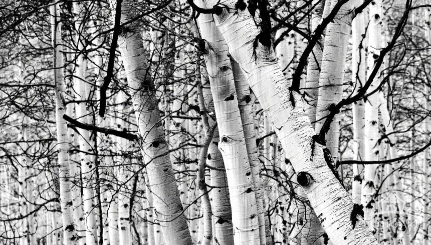 B&W Aspen trees in Colorado