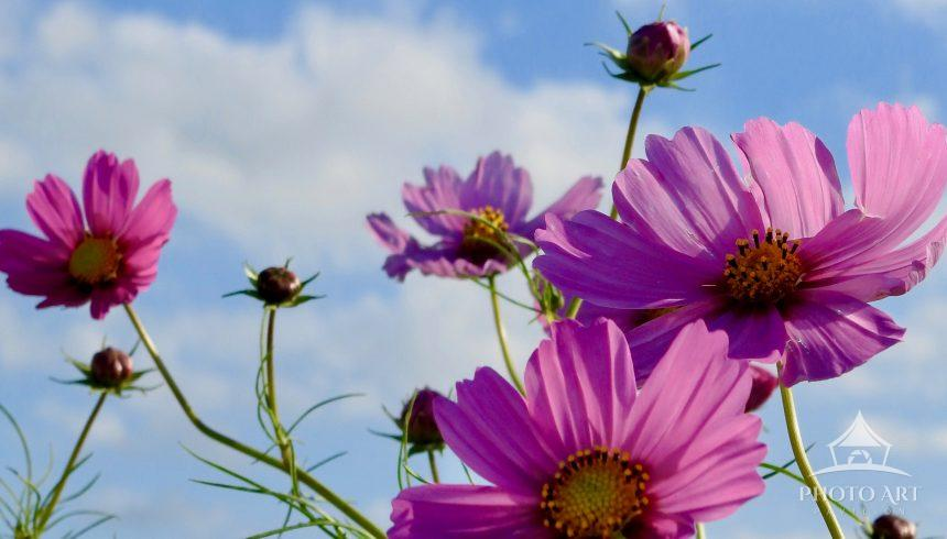 Bright pink cosmos reach toward the bright blue sky.