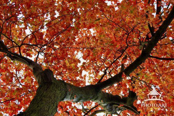 Vibrant red leaves mark the arrival of Autumn on this tree.