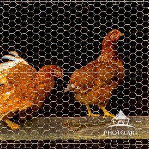 Chicken peek-a-boo in a 10x30 Pano