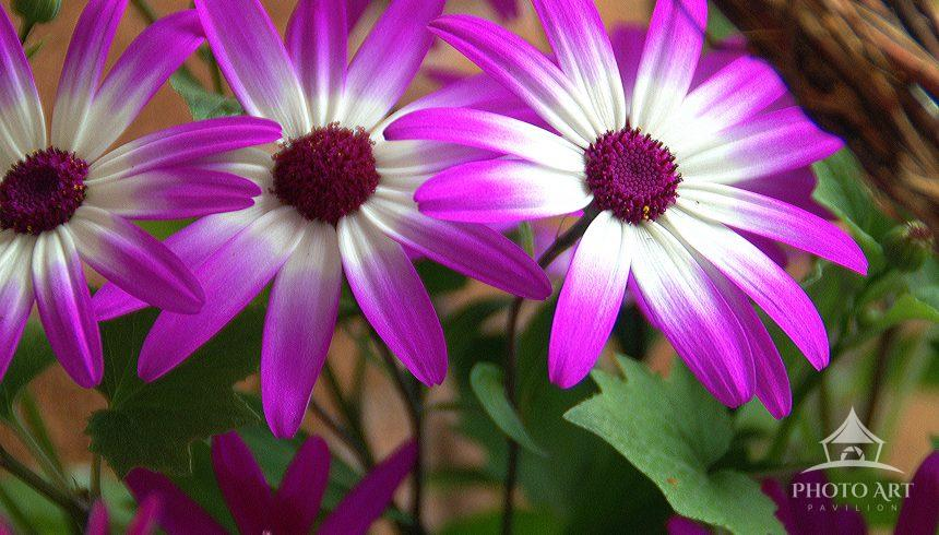 Colorful Pink Flowers in wooden Basket