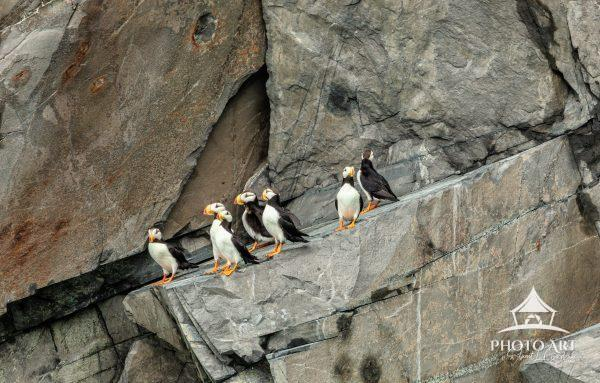 Puffins, the clowns of the bird world, on a craggy, towering granite rock formation in Resurrection