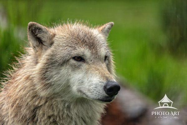 Portrait of a gray wolf in the Alaska Wildlife Conservation Center.
