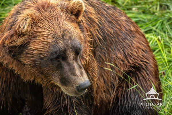 Alaska brown bear in the Alaska Wildlife Conservation Center.