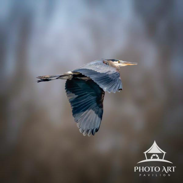 A gorgeous bird in flight, the Great Blue Heron
