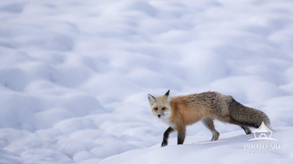A red Fox walking on freshly pillowed snow