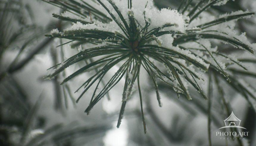 The heavy, wet snow sits on the pine needles.