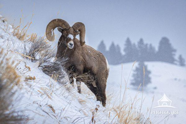 A Large Ram pauses from grazing for his close up on the mountainside.