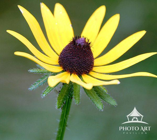 a beautiful black-eyed Susan