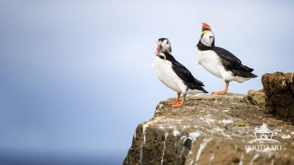 Two Atlantic Puffins pose on a cliff on Grimsey Island, Iceland.