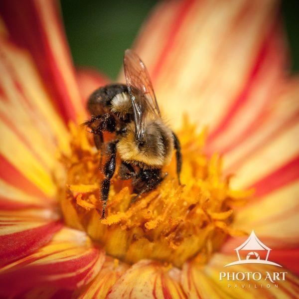 Large bee hard work collecting pollen from a beautiful red and orange flower.