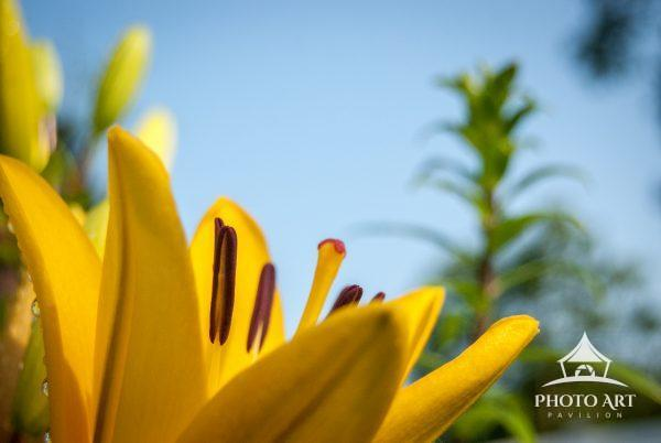 This stunning Lemon Day Lily is seeking out the sun in this capture. I love the unique perspective