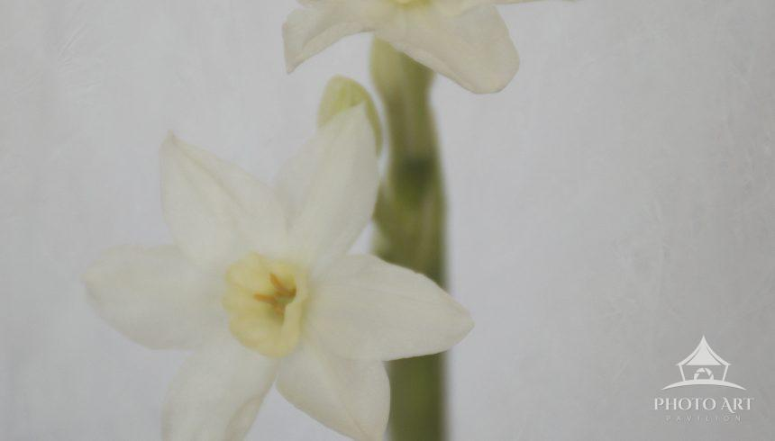 a photograph of paperwhites, shot in a soft focus, give a painterly feel to the image